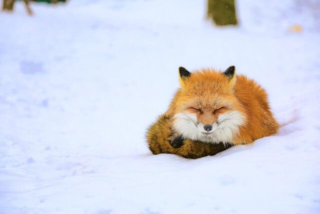 寒くて動かないキツネ