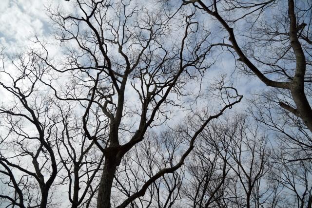 秋から冬の葉が落ちた樹木